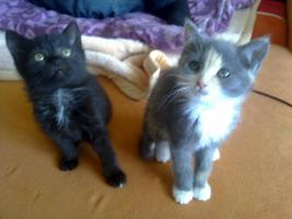 Foto 3 Zuckersüße Angora-Mix Kätzchen 8 Wochen alt