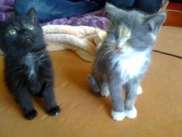 Foto 4 Zuckersüße Angora-Mix Kätzchen 8 Wochen alt