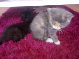Foto 5 Zuckersüße Angora-Mix Kätzchen 8 Wochen alt