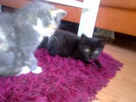 Foto 6 Zuckersüße Angora-Mix Kätzchen 8 Wochen alt