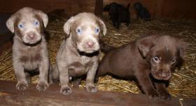 Zuckersüße Labrador Welpen in ALLEN Farben abzugeben
