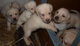 Foto 2 Zuckersüße Labrador Welpen in ALLEN Farben abzugeben
