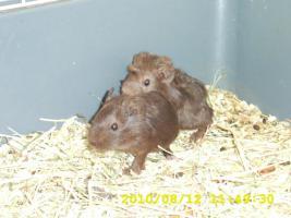 Foto 2 Zuckersüße Meerschweinbabys