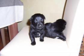 Zuckersüsse Schwarze Labrador-Welpen