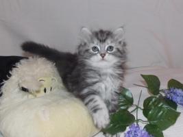 Zuckersüße Sibirische Katzenbabys suchen ein neues, liebevolles Zuhause!♥