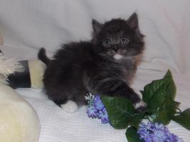Foto 2 Zuckersüße Sibirische Katzenbabys suchen ein neues, liebevolles Zuhause!♥