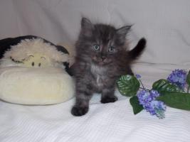 Foto 3 Zuckersüße Sibirische Katzenbabys suchen ein neues, liebevolles Zuhause!♥