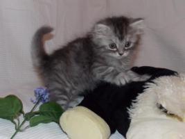 Foto 4 Zuckersüße Sibirische Katzenbabys suchen ein neues, liebevolles Zuhause!♥