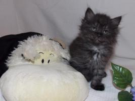 Foto 5 Zuckersüße Sibirische Katzenbabys suchen ein neues, liebevolles Zuhause!♥