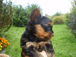 Zuckersüsse Yorkshire Terrier (weiblich 3 und 2 männlich)