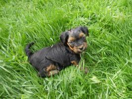 Foto 2 Zuckersüsse Yorkshire Terrier (weiblich 3 und 2 männlich)