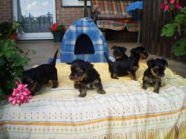 Foto 3 Zuckersüsse Yorkshire Terrier (weiblich 3 und 2 männlich)