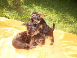 Foto 5 Zuckersüsse Yorkshire Terrier (weiblich 3 und 2 männlich)