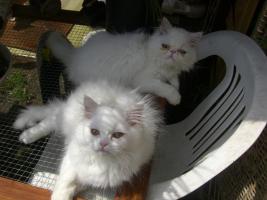Foto 5 Zuckersüsse junge Perserkätzchen