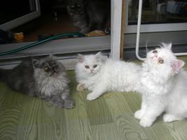 Foto 7 Zuckersüsse junge Perserkätzchen