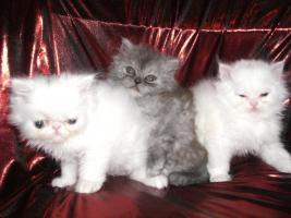 Foto 5 Zuckersüsse junge Perserkätzchen suchen neuen Dosenöffner
