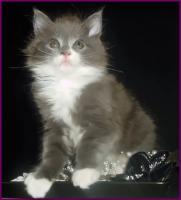 Zuckers��e reinrassige typvolle Maine Coon Kitten
