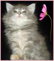 Foto 2 Zuckers��e reinrassige typvolle Maine Coon Kitten