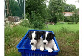 Foto 2 !!**Zum Verlieben: Bezaubernde Jack Russel-Welpen! mit VDH Papieren**!!