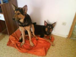 Zwei 10 mon. deutsch-belgische Schäferhunde kostenlos abzugeben