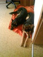 Foto 2 Zwei 10 mon. deutsch-belgische Schäferhunde kostenlos abzugeben