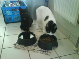 Zwei 2 J�hrige Katzen zu verschenken