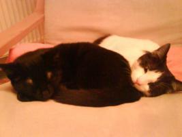 Foto 3 Zwei 2 J�hrige Katzen zu verschenken