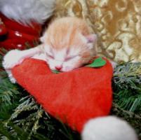 Foto 4 Zwei BKH - Kätzchen suchen noch ein neues zu Hause