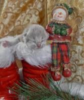 Foto 5 Zwei BKH - Kätzchen suchen noch ein neues zu Hause