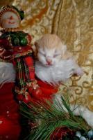 Foto 6 Zwei BKH - Kätzchen suchen noch ein neues zu Hause