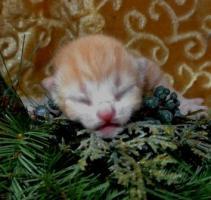 Foto 8 Zwei BKH - Kätzchen suchen noch ein neues zu Hause