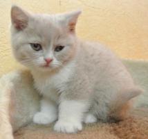Zwei BKH - Kitten suchen noch ein neues Zuhause