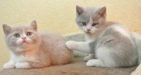 Foto 3 Zwei BKH - Kitten suchen noch ein neues Zuhause