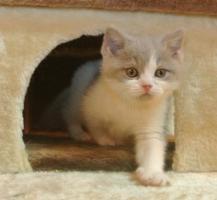 Foto 5 Zwei BKH - Kitten suchen noch ein neues Zuhause