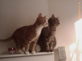 Foto 3 Zwei Hauskatzen abzugeben