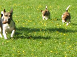 Foto 4 Zwei Jack Russel M�dels in gute H�nde abzugeben!Welpen