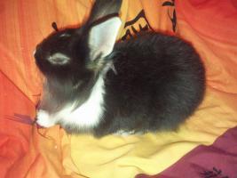 Foto 2 Zwei Kaninchen mit Zubehör zu verkaufen