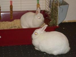 Foto 3 Zwei Kaninchenmädels in liebe Hände abzugeben