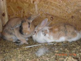 Zwei L�wenkopf Zwerg Hasen  mit diversem Zubeh�r
