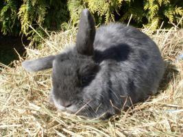Zwei NHDs Zwergwidder Kaninchen