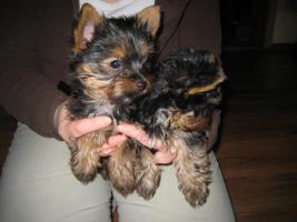 Zwei Yorkshire Terrier – Welpen zu verkaufen!!