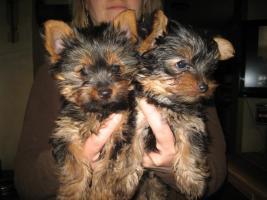 Foto 2 Zwei Yorkshire Terrier – Welpen zu verkaufen!!