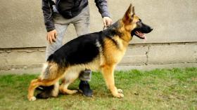 Zwei ausgezeichnete weibliche Deutscher Schäferhunde zum Verkauf