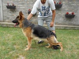 Foto 2 Zwei ausgezeichnete weibliche Deutscher Schäferhunde zum Verkauf