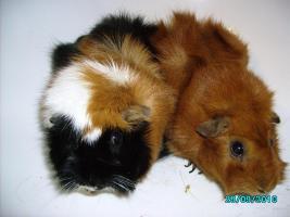 Foto 3 Zwei handzahme Meerschweinchen gegen Schutzgeb�hr abzugeben!