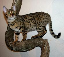 Zwei herzige Schmusekatzen aus Wohnzimmerzucht!