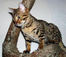 Foto 2 Zwei herzige Schmusekatzen aus Wohnzimmerzucht!