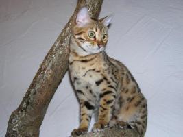 Foto 3 Zwei herzige Schmusekatzen aus Wohnzimmerzucht!