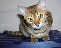 Foto 4 Zwei herzige Schmusekatzen aus Wohnzimmerzucht!