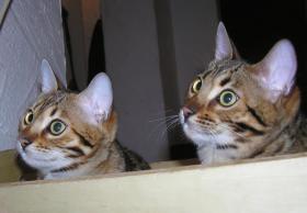 Foto 5 Zwei herzige Schmusekatzen aus Wohnzimmerzucht!